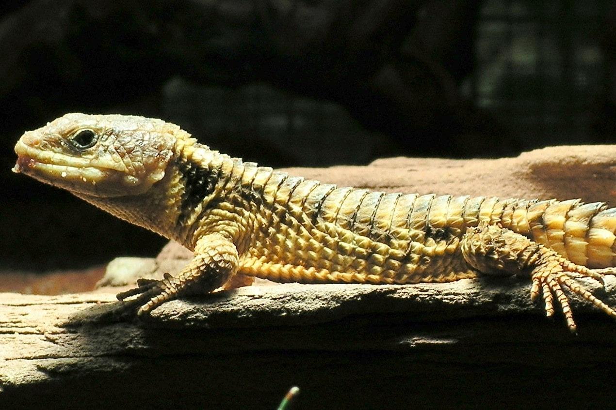 ヒナタヨロイトカゲ