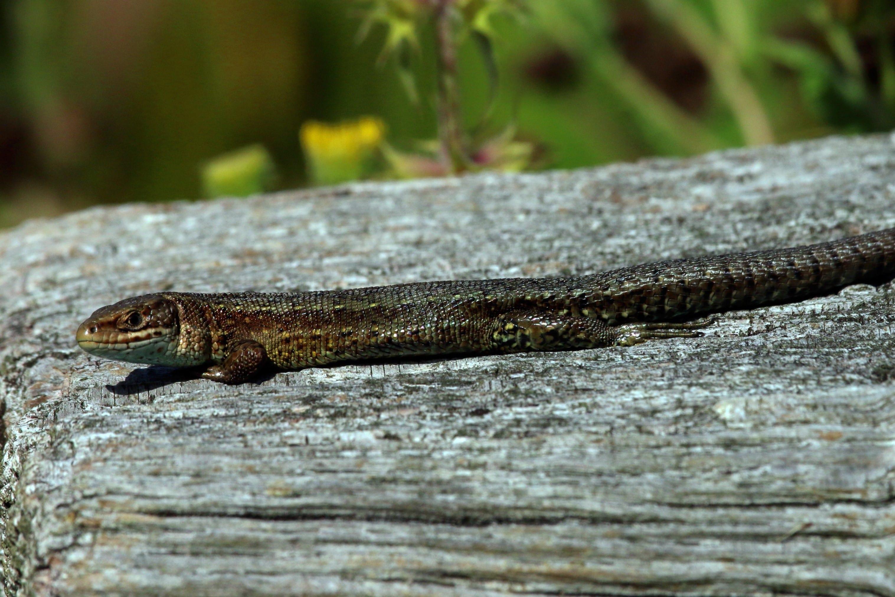 コモチカナヘビ