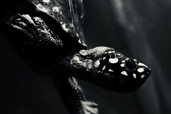 ハミルトンガメ