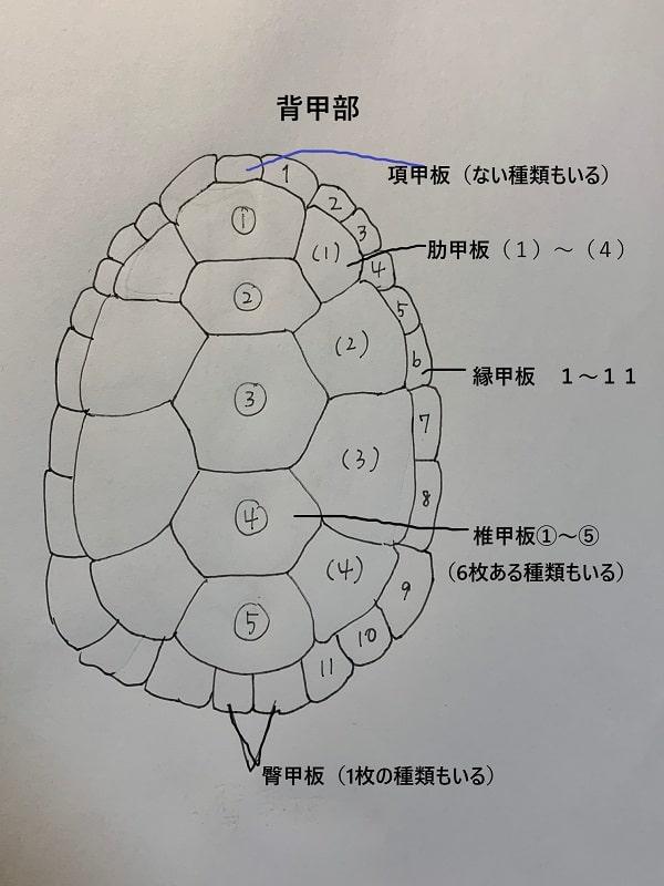 亀の甲羅 背甲