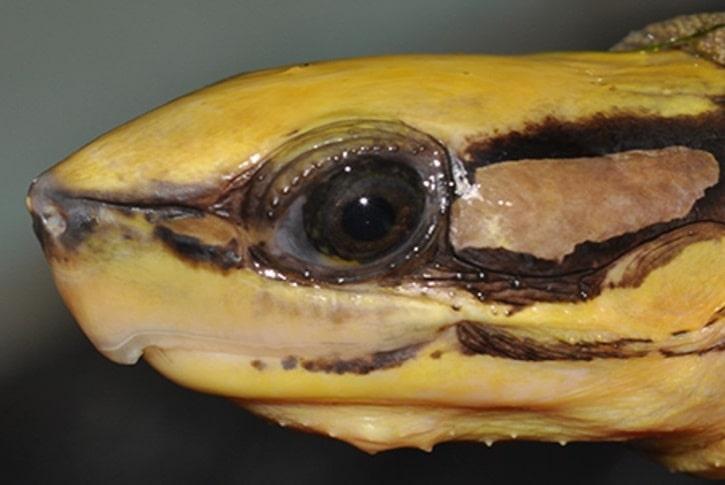 ミスジハコガメ